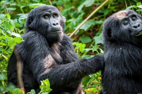 3. Горная горилла На сегодняшний день в дикой природе существует около тысячи горных горилл. Благодаря интенсивным усилиям по сохранению, эти приматы были перемещены из списка «находящихся под угрозой исчезновения» в «красный список» МСОП в 2018 году. Тем не менее, незаконное браконьерство, загрязнение окружающей среды, обезлесение среды обитания, фрагментация и болезни по-прежнему угрожают их виду. Горные гориллы часто становятся жертвами браконьеров, которые охотятся за их мясом, при этом, молодые особи попадают в ловушки, предназначенные для других животных. Помимо всего этого, войны и гражданские беспорядки также оказали негативное влияние на горилл. Есть две популяции горных горилл, которые находятся под пристальным внимание различных организаций по защите диких животных в естественной среде обитания. Одна группа обитает в вулканических горах Вирунга в Центральной Африке через три национальных парка: угандийский Национальный парк Мгахинга, Национальный парк вулканов Руанды и Национальный парк Вирунга в ДР. Другая часть населения проживает в неприступном Национальном парке Бвинди в Уганде.