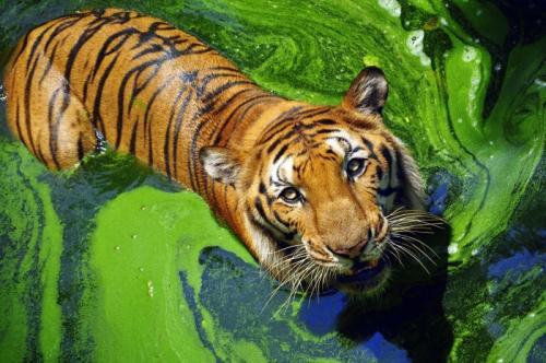 4. Бенгальские тигры В начале XX века в мире насчитывалось примерно сто тысяч тигров. Сегодня, по оценкам, это число сократилось до четырёх тысяч в дикой природе. Тиграм нужны большие площади обитания, но проживание в некоторых из самых густонаселённых мест на Земле привело к тому, что они оказались в той самой среде, которая привела к масштабному конфликту с людьми. Ко всему прочему, разрушение среды обитания и фрагментация оказали наиболее существенное влияние на места обитания тигров, и браконьерство является одной из их самых больших угроз. Индия – лучшая страна, где можно увидеть тигров в дикой природе, но помимо этого их также можно встретить в Бангладеш, Китае, Суматре, Сибири и Непале.