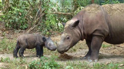 1. Яванский носорог Когда-то яванские носороги были самыми распространёнными среди азиатских носорогов, а сейчас они находятся под угрозой исчезновения. Имея только одну известную популяцию в дикой природе, они считаются одними из редких в мире крупных млекопитающих, количество которых насчитывает примерно 50-70 особей и все они не живут в неволе. Как известно, на носорогов из-за их экзотического рога частенько ведётся охота, что приводит к исчезновению вида, да и войны во Вьетнаме также поспособствовали их вымиранию. К сожалению, единственное население яванских носорогов можно найти в национальном парке Уджунг Кулон на юго-западе острова Ява, Индонезия.