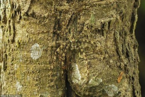 2. Лишайниковый паук - скрытный охотник, маскирующийся под цвет коры дерева. Древесный камуфляж позволяет ему охотится из засады. Ночной кошмар для всех арахнофобов проживает в Австралии, Папуа-Новой Гвинее и Индонезии