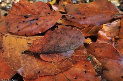 3. Это мотылек-коконопряд. Он маскируется под опавшие листья, поэтому на него легко наступить. Эти насекомые не имеют рта, поэтому продолжительность их жизни составляет всего 2 дня. За это кроткое время им нужно успеть найти партнера для размножения, прячась от хищников при помощи лиственной маскировки. Мотылька-коконопряда можно встретить в Швейцарии.