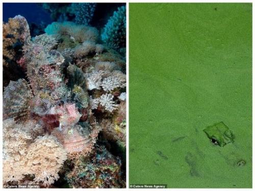 5. Слева мы видим длинноперую скорпену, которая затаилась среди камней. Ее зоны обитания находится в Индийском океане и Южной части Тихого океана. А справа находится крокодил, скрывающийся от глаз посетителей зоопарка в Пхукете.