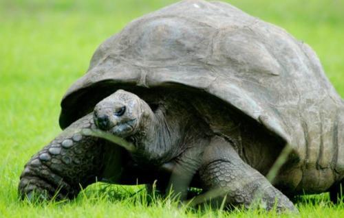 Черепаха Джонатан все это видел. В феврале 2019 года в Книге рекордов Гиннеса объявлено, что Джонатану в этом году исполняется 187 лет, что делает его самым старым из известных наземных животных, которые еще живы.