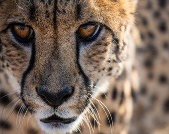 Мяукающий гепард стал интернет-звездой