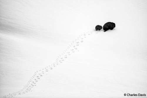 Премия в категории «Портфолио». «Большой шаг, маленький шаг». Короткошёрстный или тасманийский вомбат (Vombatus ursinus) в национальном парке Косцюшко в штате Новый Южный Уэльс. Автор фото: Чарльз Дэвис.