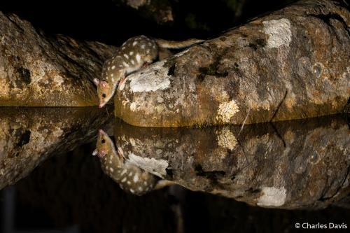 Премия в категории «Портфолио». Крапчатая сумчатая куница (или кволл) в национальном парке Маунт Филд в Тасмании. Автор фото: Чарльз Дэвис.