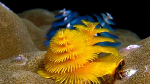 Spirobranchus giganteus, или черви с новогодней елки, выглядят довольно празднично. Этот вид многощетинковых морских червей обладает целой палитрой ярких цветов. Спиралевидные щупальца помогают им добывать вкусный фитопланктон себе на ланч.