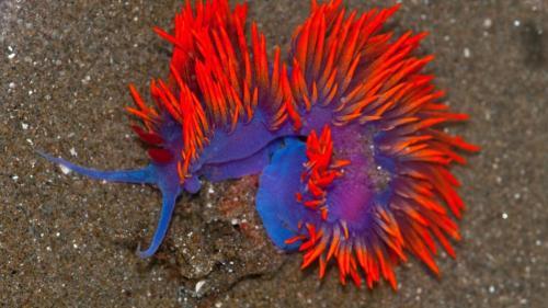 Голожаберные — это отряд брюхоногих моллюсков, похожих на обычных слизняков, но только сильнее бросающихся в глаза. Известны своим ослепительным набором цветов и текстур.