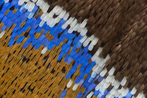 Голубая императорская бабочка под увеличением. (Фото Daniel Han, Sydney, New South Wales, Australia):