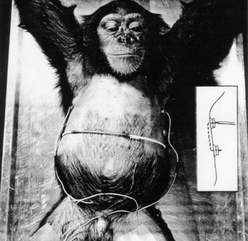 Перед полётом Хэма научили двигать рычаг по световому сигналу. За верное выполнение команды его награждали банановыми шариками, а вот если шимпанзе ошибался, его бил лёгкий электрический ток (по лапе). Шимпанзе отлично справился со своим заданием. Таким образом, Хэм стал первым животным, которое успешно взаимодействовало с пространством корабля, а не просто летало на нём.