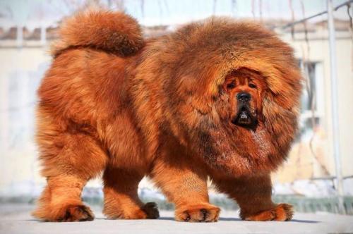 4. Тибетский мастиф (ориентировочная стоимость 582 000$) Тибетский мастиф – самая большая собака в мире, которая внешне похожа на собачью версию свирепого льва. Эта порода первоначально была выведена как сторожевая, способная защитить домашний скот, дом, дворец или монастырь в своё время. К сожалению, чистокровные тибетские мастифы – огромная редкость, и за них можно получить баснословную сумму, которая вам и не снилась. Так, например, в 2011 году последний чистокровный представитель этой уникальной породы был продан за полтора миллиона долларов.