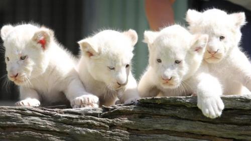 5. Белые львята (140000$) Эта порода львов была впервые обнаружена в 1938 году, и тогда они были редкостью. Цветовая мутация была впервые замечена среди львов в районе заповедника Тимбавати и является причиной появления белого меха и светлых глаз у этих животных. Считается, что рецессивные гены у обоих родителей ответственны за первозданный белый цвет детёнышей. По данным Глобального Фонда защиты белых львов, на сегодняшний день их количество составляет примерно триста штук, а стоимость каждой особи насчитывает около ста сорока тысяч долларов.