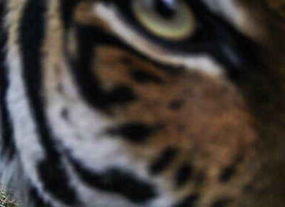 Амурский тигр сделал селфи в Приморье