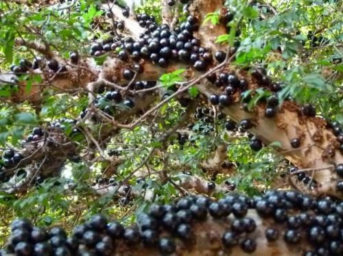 Жаботикаба В тропических широтах это растение семейства миртовых культивируют как плодоносное. Плоды жаботикабы растут прямо на стволе дерева! Забавно, что в Бразилии местные умельцы готовят из плодов жаботикабы очень неплохое красное вино.