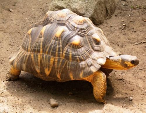 3. Мадагаскарская клювогрудая черепаха Чрезвычайно редкое животное, родом из Мадагаскара, черепаха Ангонока является самой исчезающей черепахой в мире. Эта черепаха, найденная только в районе залива на северо-западе Мадагаскара, известна своими своеобразными, красиво украшенными панцирями, страдает от разрушения среды обитания и чрезмерной охоты. Там может быть только около 200 оставшихся особей.