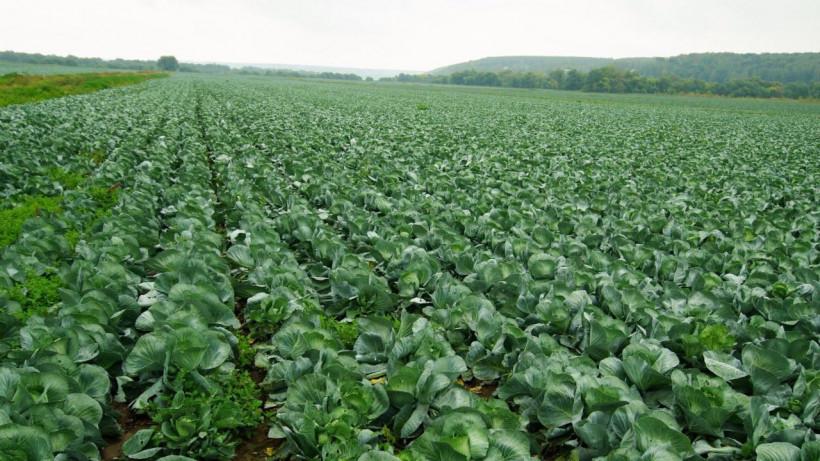 Первые 14 тыс. тонн овощей открытого грунта собрали в Подмосковье