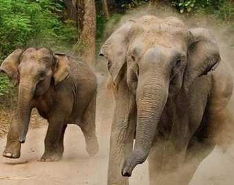 Погоня бешеного слона за туристами попала на видео