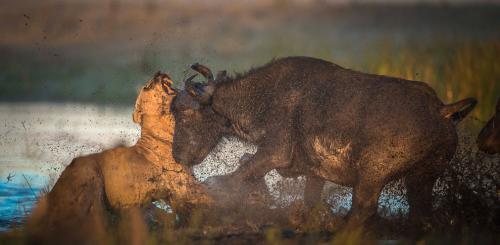 Лев не ожидал от быка такого отпора. (Фото Wim van den Heever):