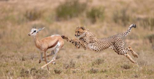 Финальный бросок гепарда. (Фото Wim van den Heever):