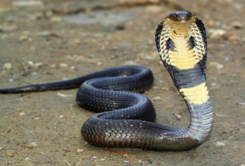 Королевская кобра Эта живность является самой длинной ядовитой змеей на планете. В длину королевская кобра (Ophiophagus hannah) может достигать 5,6 метров. Ophiophagus дословно можно перевести, как «едок змеи». Все потому, что это существо питается другими змеями. Всего один укус смертельно опасной змеи может убить взрослого человека. Более того, королевская кобра своим ядом способна сразить на смерть даже взрослого азиатского слона. Он скончается в течение трех часов, если укушен в самую уязвимую область – хобот. Королевская кобра водится в густых горных лесах Юго-Восточной и Южной Азии.