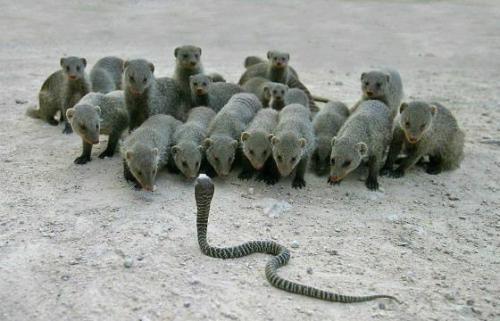 К слову, среди змей есть и более ядовитые, чем королевская кобра, те, которые выделяют намного больше яда. Это, к примеру, черная мамба, которая выдает в 5 раз больше яда. На фото: кобре могут противостоять мангусты