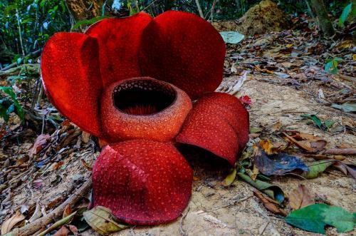 Цветы могли бы быть частым гостем в парниках ботанических садов, если бы не их запах — раффлезия источает сильную вонь разлагающейся плоти, именно такой запах привлекает насекомых, которые опыляют этот цветок.