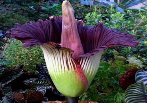 Этот цветок, несмотря на его неприятный запах, культивируется — культурные формы, в отличие от дикорастущих, не ядовитые, и их клубни используют наподобие картофеля или на муку. В Китае также используют это растения в народной медицине.
