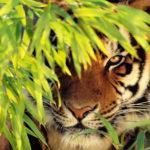 Выставка «Здравствуйте ― я тигр»