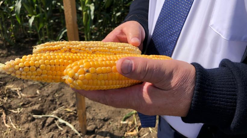Демонстрация посевов гибридов кукурузы прошла в Луховицах