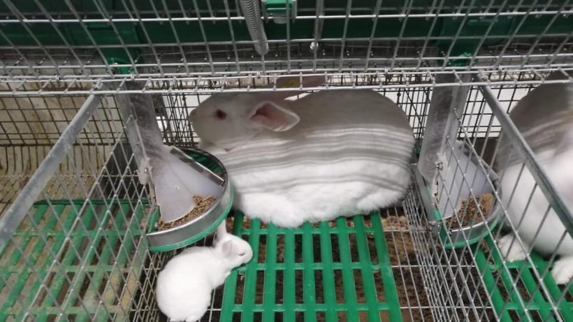 Кролиководческое предприятие в Клину прошло экспертизу племенного животноводства