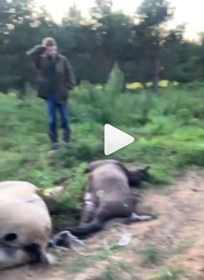 У депутата медведь порвал лошадей