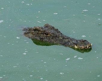 Нападение крокодила на собаку попало на видео