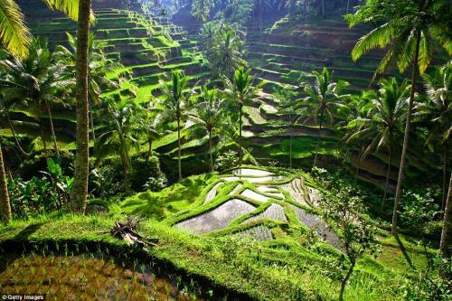 Рисовые террасы в регионе Убуд на Бали, Индонезия. Рисовые террасы в регионе Убуд – одно из самых тихих мест на острове. Несмотря на популярность у туристов, террасы остаются нетронутыми, поскольку посетителям не разрешается прогуливаться среди посевов, а только любоваться ими с определённого расстояния. Лучшее время для посещения: май, июнь и июль считаются самыми благоприятными месяцами для посещения острова Бали с точки зрения погодных условий. Рисовые террасы остаются зелёными круглый год.