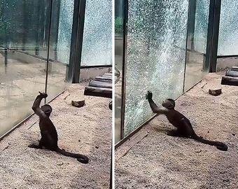 Обезьяна применила орудие труда для побега из зоопарка