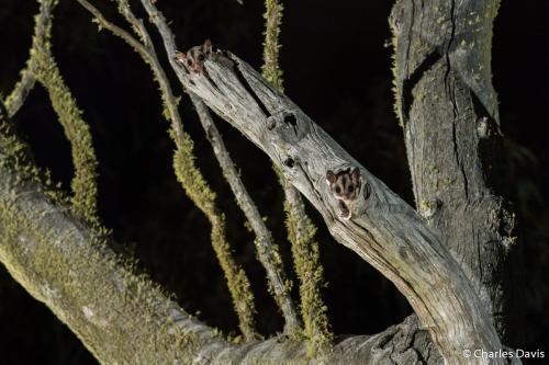 Премия в категории «Портфолио». «Дом летяг». Сахарная сумчатая летяга (Petaurus breviceps), она же летающий поссум, или короткоголовая летающая белка. В Куме, Новый Южный Уэльс. Автор фото: Чарльз Дэвис.