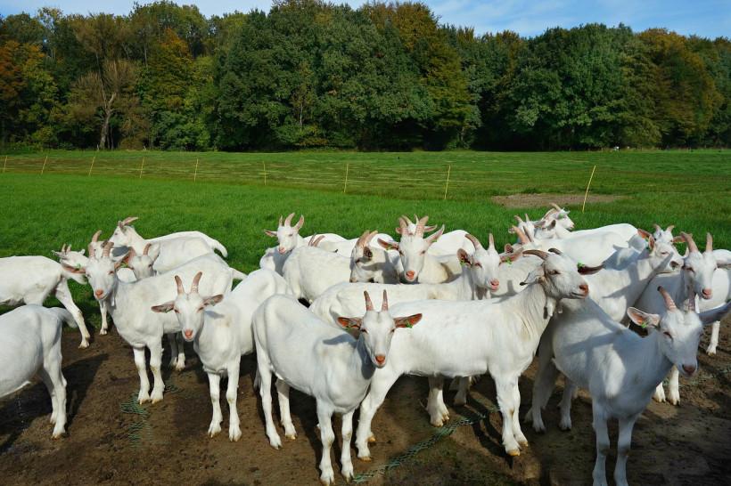 Поголовье коз в Подмосковье увеличилось на 5,3% с начала года