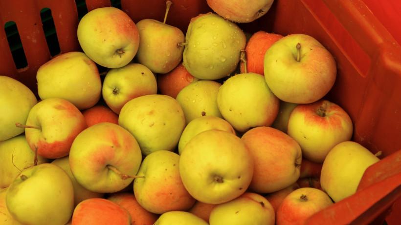Яблочный сезон: как принять участие в массовом сборе урожая в Подмосковье