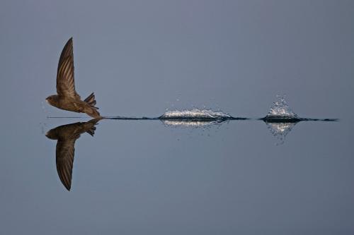 На взлет! (Фото Robin Chittenden | British Wildlife Photography Awards | PA Wire Press Association):