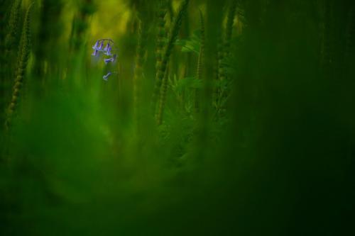 Среди Изумрудных Глубин. Колокольчики. (Фото Jack Mortimer | British Wildlife Photography Awards | PA Wire Press Association):