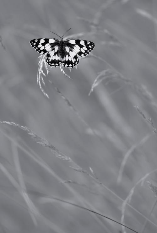 Победитель в категории «Черно-белое». Бабочка в траве. (Фото Nicholas Court | British Wildlife Photography Awards | PA Wire Press Association):