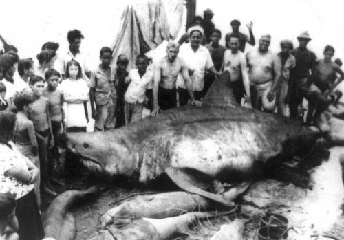Самые большие пойманные акулы