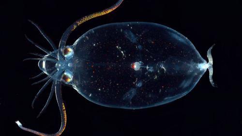 Кранхииды, или кальмары-какаду — одни из самых странных глубоководных обитателей с прозрачным шарообразным телом и гигантскими глазами. Многие из них обладают способностью к биолюминисценции, используя специальные органы свечения.