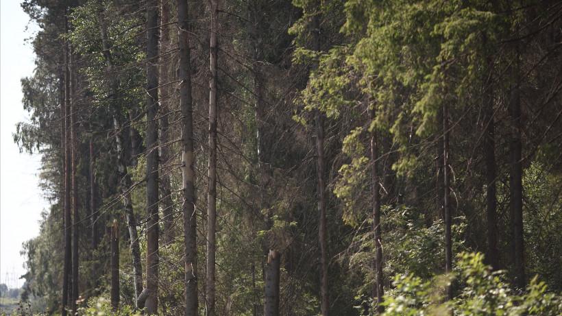 Свыше 43 тыс. га леса восстановили в Подмосковье после эпидемии жука-короеда