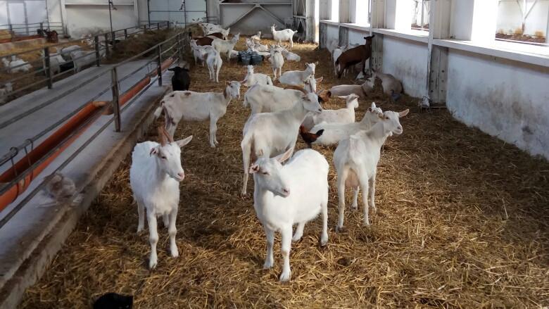 Фермеры из Нидерландов посетили козоводческое хозяйство в Пушикинском округе