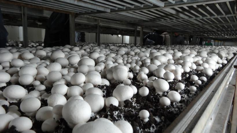 Грибная ферма в Электростали откроется до конца ноября
