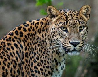 Молниеносная реакция спасла леопарда от гибели