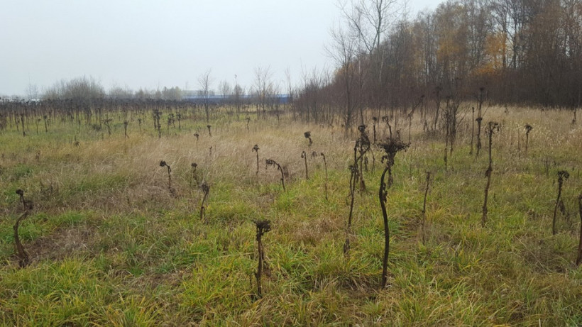 Штрафы за произрастание борщевика на частных территориях составили более 39 млн рублей