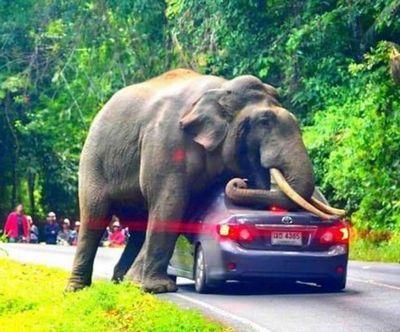 Слон прилег на автомобиль с туристами в Таиланде