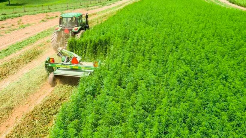 Техническую коноплю начнут выращивать и перерабатывать в Солнечногорске