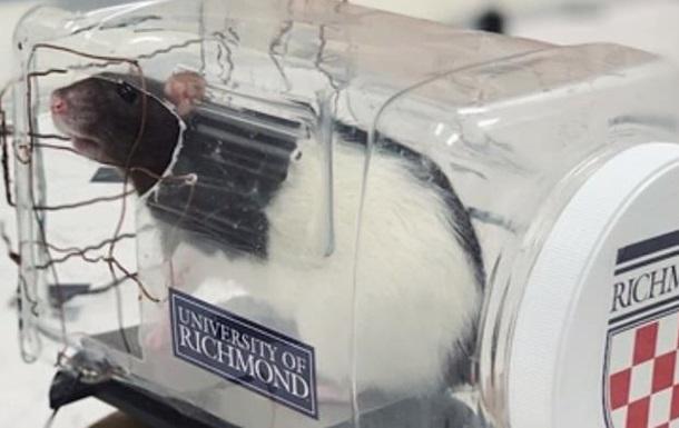 Ученые научили крыс управлять мини-авто